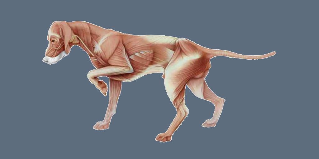 tratamiento miositis de los musculos masticadores en perros