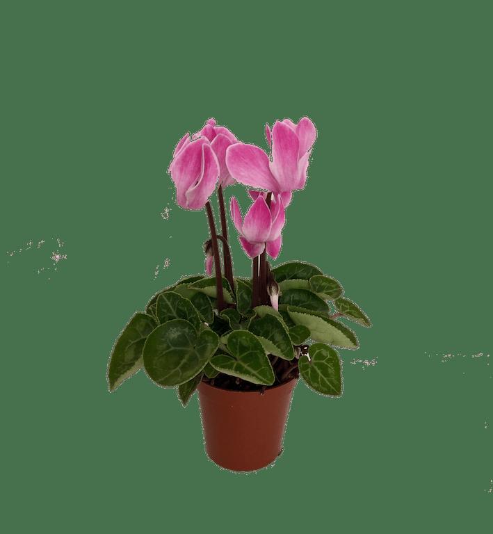 Plantas Toxicas Para Perros Y Gatos