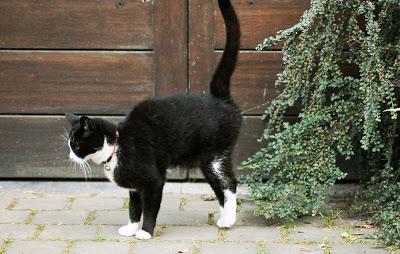 gato-miccion-marcando