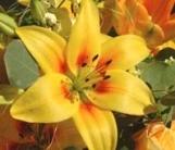 lilium-amarilla