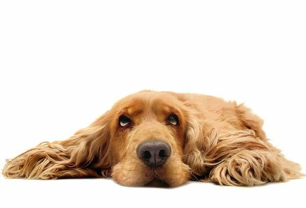 hiperplasia prostática canina rx 350