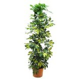 Scheffelra-planta