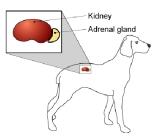 adrenal-perro