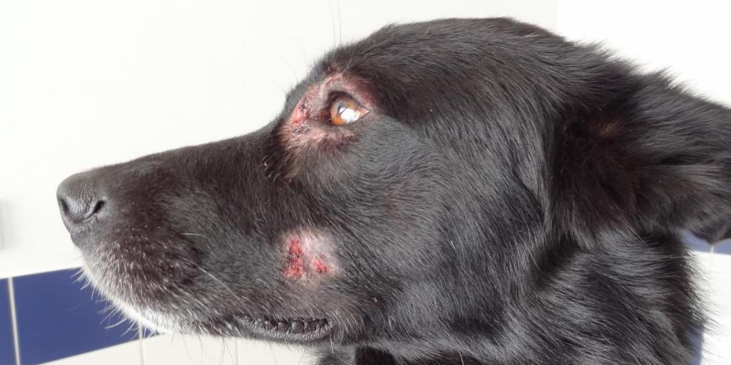 fotos de infecciones en la piel de los perros