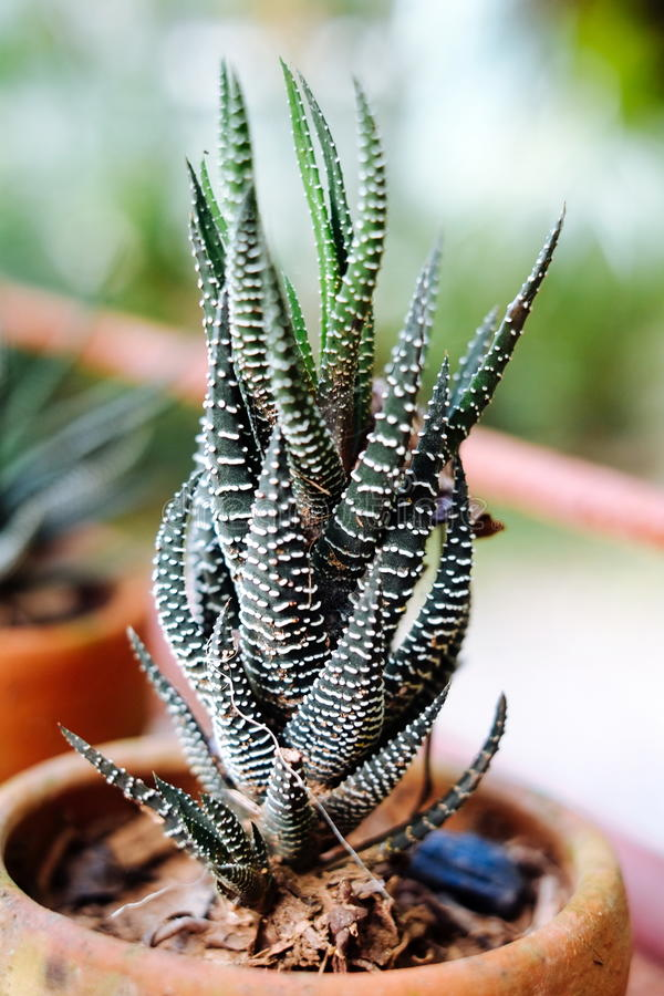 closeup-to-zebra-haworthia-fasciata-attenuata-succulent-arid-plant-90550487